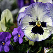 Spring Pansy Flower Poster