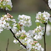 Spring Pear Blooms Poster