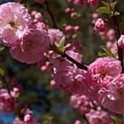 Spring Pink Flowering Poster