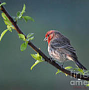 Song Bird In Spring Poster