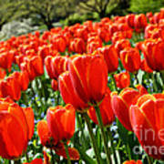 Spring Time Tulips 3 Poster