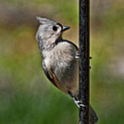 Spring Titmouse 1 Poster