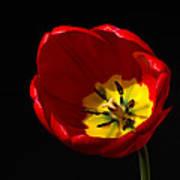 Spring Tulip 2 Poster