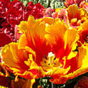 Spring Tulip Flowers Art Prints Yellow Red Tulip Poster