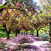 Spring Walkway Lined By Blooming Cherry Trees Poster