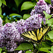 Springtime Lilac And Butterfly Poster