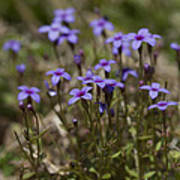 Springtime Tiny Bluet Wildflowers - Houstonia Pusilla Poster