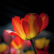 Springtime Tulips Poster