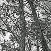 Springtime Woods - New Jesey Pine Barrens - Black And White Poster
