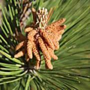 Sprintime Pine Poster