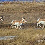 Sprinting Pronghorn Poster