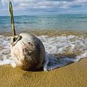 Sprouting Coconut Washed Up On Beach Poster by Naki Kouyioumtzis