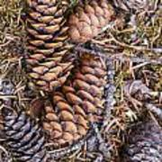Spruce Cones Poster