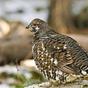 Spruce Grouse In The Snow Poster
