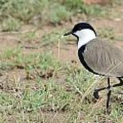 Spur-winged Lapwing Poster