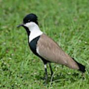 Spur-winged Plover Poster