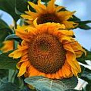 Squamish Sunflower Portrait Poster