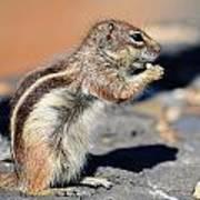 Squirrel Con Queso Poster