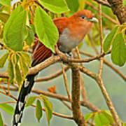Squirrel Cuckoo In Costa Rica Poster