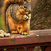 Squirrel Eating A Peanut Poster