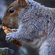 Squirrel Eating Granola Poster