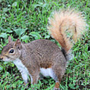Squirrel On The Ground Poster