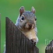 Squirrel Playing Peek A Boo Poster