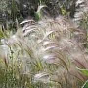 Squirrel Tail Grass Panguitch Lake Utah Poster