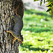 Squirrel With Pecan Poster