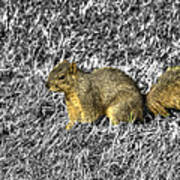 Squirrling Around Looking For Nuts Poster