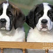 St. Bernard Puppies Poster