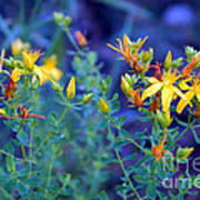 St John's Wort In The Forest Poster