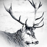 Stag In Black And White Poster