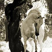 Stallion Dances In Sepia Poster