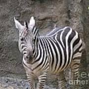 Standalone Zebra Poster