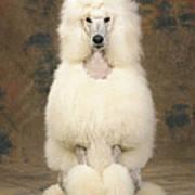 Standard Poodle Dog Poster