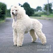 Standard Poodle Dog, Unclipped Poster