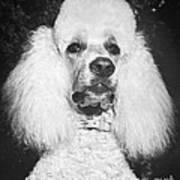 Standard Poodle Poster