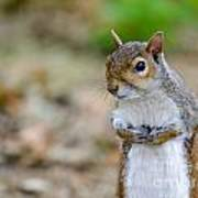 Standing Squirrel Poster