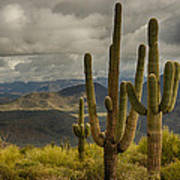 Standing Tall In The Sonoran Desert  Poster