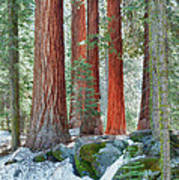 Standing Tall - Sequoia National Park Poster