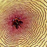 Stapelia Grandiflora - Close Up Poster