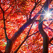 Star Light Thru Maple Poster