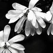 Star Magnolia In Black And White Poster