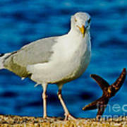 Starfish And Seagull Dance On The Rocks Poster by Carol F Austin