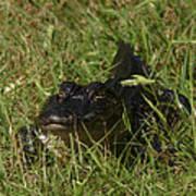Staring Alligator. Melbourne Shores. Poster