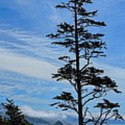 Stately Pine Poster