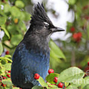 Steller's Jay And Red Berries Poster
