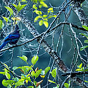 Steller's Jay In A Tree Poster