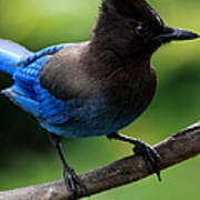 Stellers Jay Poster